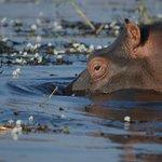 A beautiful hippo on the beautiful Chobe.