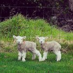Lambs in August