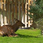 Front lawn with elk on green grass