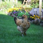 One of the happy, pampered chickens