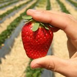 Delicious strawberries at Julians Berry Farm & Café, Whakatane