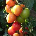 Prächtige Tomaten aus dem Garten