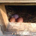 Fresh eggs for breakfast!