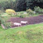 Les cochons (visibles à l'entrée du domaine)