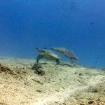 Turtles at Koko