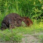 Beaver on river shore