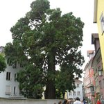 Giant Sequoia in Lindau