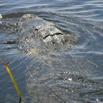 one of several alligators we saw