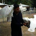 Feeding the Sulphur-crested cockatoo