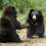 Bears Playing at Agra Bear Rescue Facility