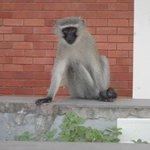 Monkeys near the hotel entrance