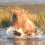 Kodiak bear/picture taken during tour