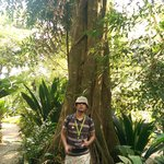 Giant rubber tree.