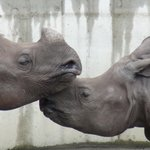 Zakochane Nosorożce