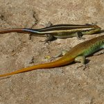 The colorful 9-inch Skinks
