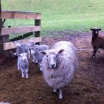 Even the sheep are friendly