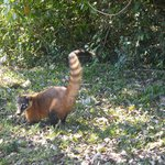 We spotted this coati on the way to the lodge