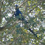 Hyacinth macaws live in the trees near the lodge
