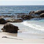 MANCHOT A BOULDERS BEACH
