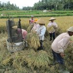Rice fields outside Ubud town