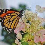 Beautiful gardens attract butterflies!