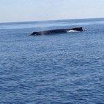 Humpback Whale sighting on Springtide Zodiac Tour!