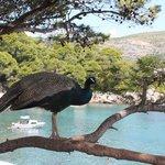 Peacocks roaming around the whole island