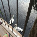 The swans swimming near our table.