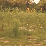 sunflower They grow.