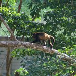 Howler Monkey outside our room