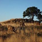 Mule deer at sunrise