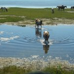 Ponies in the Water!