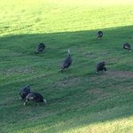 Turkeys every day