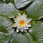 Many beautiful lily pads on the lake