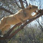 Lions on lion walk climbing trees