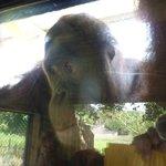 depressed orangutan