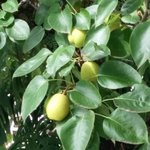 Pear laden tree