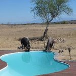 Nyala and guinea fowles at the swimmingpool