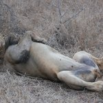 On very relaxed lion we saw on a game drive