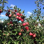 Beautiful day and great time picking apples at Honeypot