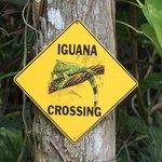 Achtung Iguanas