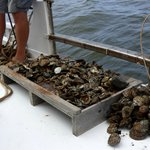 Oysters dredged up during our cruise