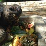 Местная черепаха за обедом