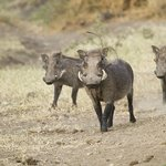 Warthog heading for a drink