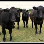 Our Aberdeen Angus