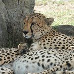 Cheetahs lying in the shade