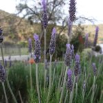 one of many lavender bushes