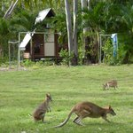 cabins and kangaroos