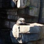 Seelöwe beim Sonnen