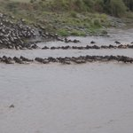 Great Migration - Hungry Croc
